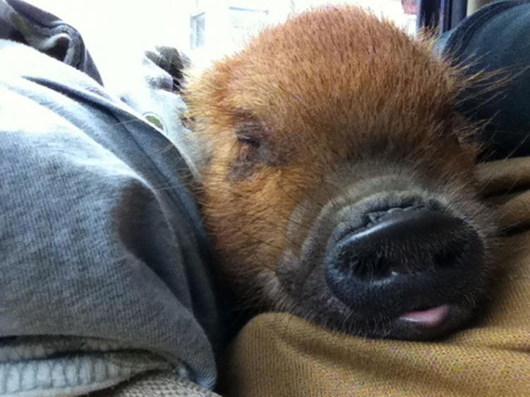 Living With A Pig 187 Freestylefarm