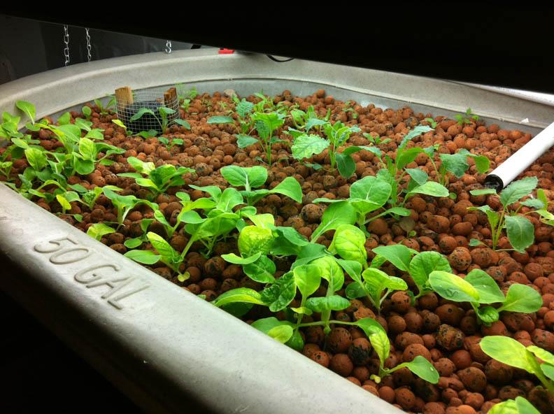 Basement aquaponics and raising tilapia freestylefarm for Garden pool tilapia