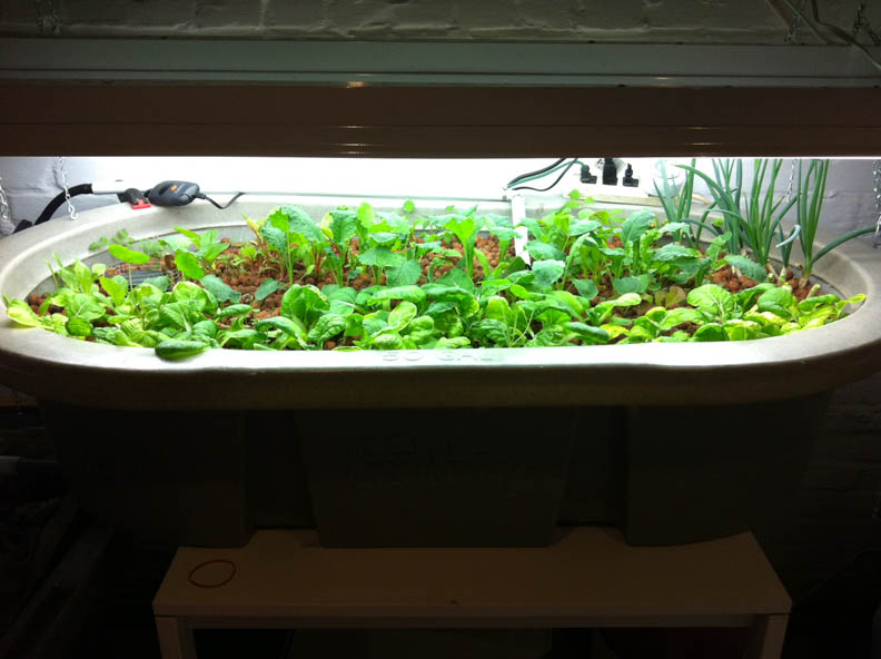 Basement Aquaponics and Raising Tilapia » FreestyleFarm